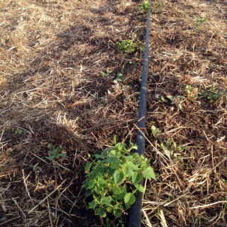 Growing hops at High Wire Hops Farm