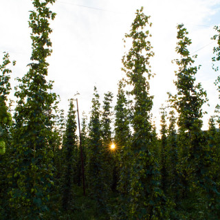Sunrise at High Wire Hops Farm