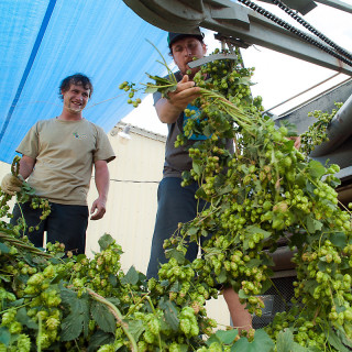 Processing Hops at High Wire Hops Farm
