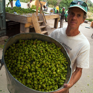 Barrel of Hops at High Wire Hops Farm