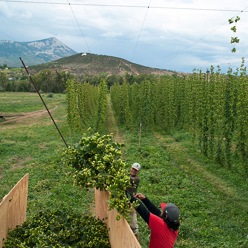 Harvesting Hops at High Wire Hops Farm