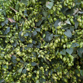 Hops at High Wire Hops Farm